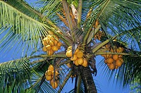 Coconuts hanging in palm tree, Kalutara beach, Sri Lanka