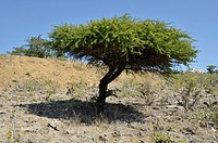 Frankincense tree, used to make incense, Salalah, Oman