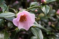 Camellia x williamsii ´Elizabeth Rothschild´