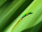 Gold Dust Day Gecko (Phelsuma laticauda laticauda) on leaf, Hawai´i, USA