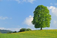 Lime Tree in blooming Grassland at Spring, Kanton Zug, Switzerland