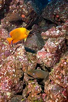 Moray Eel and Angelfish
