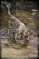 Hunting Dog drinking water from a pond in the forest of La Cañada Valencia