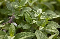 Waverly Sage Herb