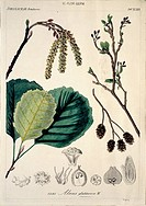 Alder tree Alnus glutinosa fruit and foliage. Illustration from the Natural History Museum Botany Library Plate Collection.