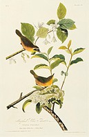 Common yellowthroats Geothlypis trichas. Two birds in a bush. Illustration from John James Audubon´s ´Birds of America´, original double elephant foli...