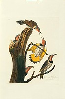 Northern flicker birds Colaptes auratus. Illustration from John James Audubon´s ´Birds of America´, original double elephant folio 1827_30, hand_colou...