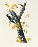 Black_backed woodpeckers Picoides arcticus. Illustration from John James Audubon´s ´Birds of America´, original double elephant folio 1831_34, hand_co...