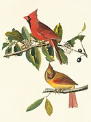 Northern cardinal birds Cardinalis cardinalis. Illustration from John James Audubon´s ´Birds of America´, original double elephant folio 1831_34, hand...