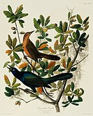 Boat_tailed grackle Quiscalus major. Illustration from John James Audubon´s ´Birds of America´, original double elephant folio 1831_34, hand_coloured ...
