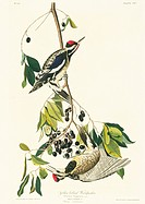Yellow_bellied sapsucker Sphyrapicus varius. Illustration from John James Audubon´s ´Birds of America´, original double elephant folio 1831_34, hand_c...