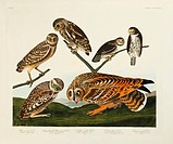 Burrowing owl Athene cunicularia, Little owl Athene noctua, mountain pygmy owl Glaucidium gnoma and short_eared owl Asio flammeus. Illustration from J...
