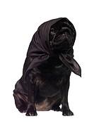 Pug with a scarf on the head