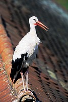 White Stork Ciconia ciconia stands on a roof in the near from its nest - Bavaria/Germany