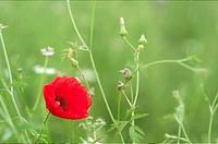 Poppie on a green meadow