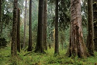Forest along Hall of Mosses Trail, Olympic National Park, Washington
