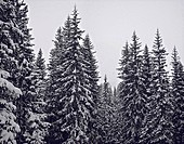 Snow_covered trees in forest