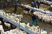 Wales, Gwynedd, Dolgellau. Sheep in pens at Dolgellau Livestock Auction.