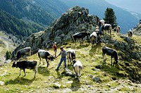 Farmer on the alpine pasture, Ultental, Alto Adige, South Tyrol, Italy