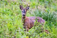 Roe Deer (Capreolus capreolus), Tyrol, Austria, Europe