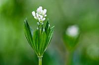 Blooming Woodruff, Galium odoratum, Austria, Europe / Blühender Waldmeister, Galium odoratum, Österreich, Europa