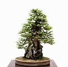 Bonsai tree on table