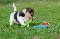 Jack Russell Terrier puppy playing with toys on the lawn