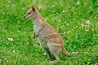 Agile Wallaby or Sandy Wallaby Macropus agilis, Wallabia agilis, Australian species, captive, Netherlands, Europe