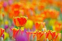 Tulips (Tulipa sp.)