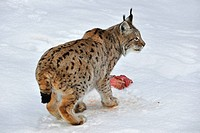 Eurasian lynx Lynx lynx eating meat in the snow in winter, Bavarian Forest National Park, Germany