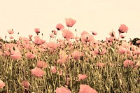 old picture of poppy fields dusty pink color