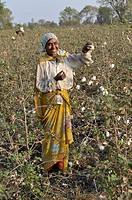 Indian woman farmer standing field of cotton,State of Maddhya Pradesh,India,Asia