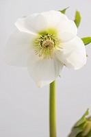 HELLEBORUS HILLIER GARDEN HYBRID CLEAR WHITE