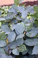 FOTHERGILLA MAJOR ´BLUE SHADOW´