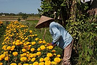 A balinese farmer wearing a traditional conical hat and tending flowers which are grown to form part of the daily offerings made to the Hindu Gods  Ne...