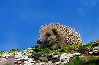 European Hedgehog, erinaceus europaeus, Adult against Blue Sky, Normandy