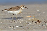 New Zealand Dotterel Charadrius obscurus adult, breeding plumage, foraging on beach, New Zealand, november