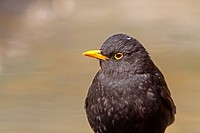 Blackbird (Turdus merula), adult male, Lleida province, Catalonia, Spain