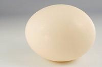 Ostrich Struthio camelus egg