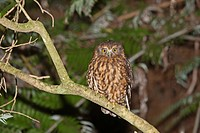 Southern Boobook Ninox novaeseelandiae adult, perched on branch at night, New Zealand, november