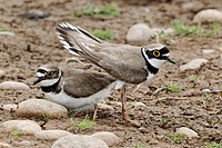 Little Ringed Plover Charadrius dubius adult pair, summer plumage, displaying, Midlands, England, june