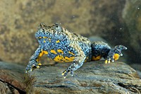 Apennine Yellow_bellied Toad Bombina pachypus adult male, underwater during breeding season, Italy, may