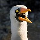 nazca booby sula granti, galapagos, equador