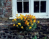 Flower _ Wallflower Wild Chairanthus cheiri Growing on wall beneath window