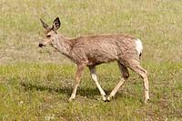 a lone deer cervidae in a field, jasper, alberta, canada