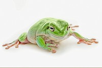 fat green tree frog, edmonton alberta canada