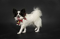 papillon dog on a dark grey backdrop