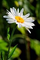A yellow core daisy