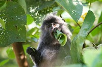 Silvered leaf monkey,Trachypithecus cristatus cristatus  Also known as silvered langur, silvered leaf-monkey, silvered monkey,The monkeys have a disti...