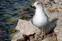 Ring_billed Gull Larus delawarensis